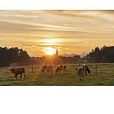 Sunrise, Pasture, Cows