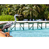 Heron, Maldives