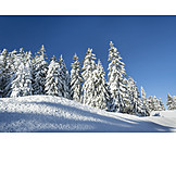 Winter, Snow, Spruce Tree