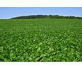 Landwirtschaft, Anbau, Sojapflanze