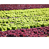 Agriculture, Vegetable, Lettuce, Outbuilding