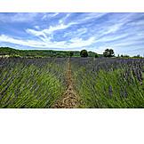 Agriculture, Lavender, Lavender Field