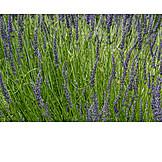 Landwirtschaft, Lavendel, Lavendelfeld