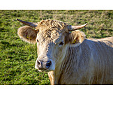 Cow, Dairy Cattle, Dairy Cattle
