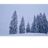 Winter, Coniferous Tree, Snow