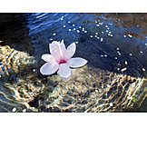 Water, Magnolia Flower