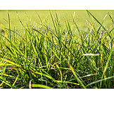 Meadow, Grass