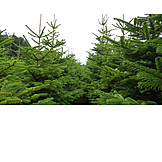 Forestry, Christmas Tree