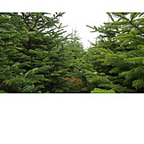 Forestry, Coniferous Tree, Christmas Tree