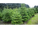 Christmas Tree, Christmas Tree, Christmas Tree Plantation