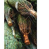 Christmas Tree, Christmas Tree Sales, North Caucasian Fir