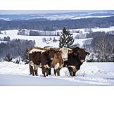 Snow, Cows