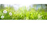 Meadow, Dew, Dandelion