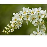 Flowers, Prunus Padus
