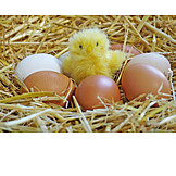 Easter, Chicken Egg, Chicks