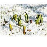 Snow, Tulip, Sprout