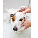 Dog, Bathing, Jack Russell Terrier, Lather