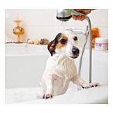 Dog, Jack Russell Terrier, Shower