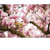Spring, Magnolia Flower, Magnolia
