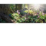Sunbeams, Spring, Corydalis Cava