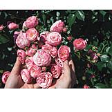 Rose Petals, Roses