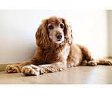 Dog, Cocker Spaniel