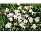 Meadow, Daisy
