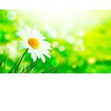 Blossom, Chamomile