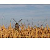 Windmill, Wheat field, Windmill