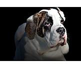 Dog, Bulldog