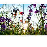 Meadow, Sunbeams, Wild Flower