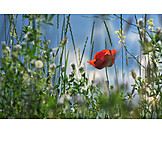 Meadow, Grasses, Poppies