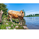 Cow, Cattle