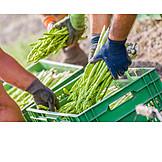 Harvest, Asparagus, Green Asparagus