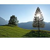 Sunlight, Tree, Larch Tree
