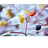 Winter, Twig, Rose Hips, Frost