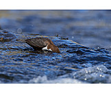 Water, Foraging, Water Blackbird