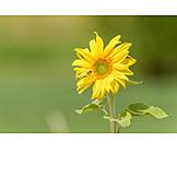 Helianthus, Sunflowers