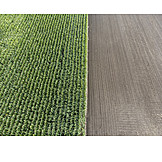 Arable, Agriculture, Maize Field