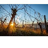 Vineyard, Vine, Vine