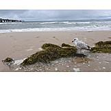 Beach, Seagull, Seaweed