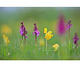 Primula veris, Early, Purple orchid