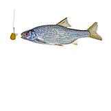 Fishing, Prepared Fish, Fishing, Fishing Hook